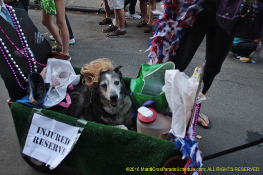 Mystic Krewe of Barkus dog mardi gras parade - photo by N. Christopher