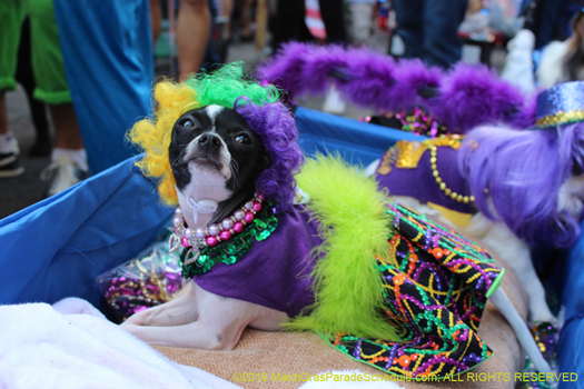 Dog in Mystic Krewe of Barkus - photo by H. Cross