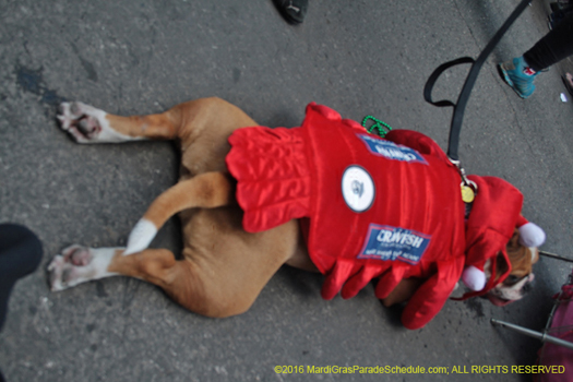 Barkus, Mardi Gras goes to the dogs - photo by N. Christopher